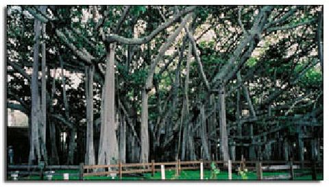 A Hundred People In A Banyan Tree?