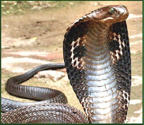 A Cobra Is No Match For A Speeding Taxi