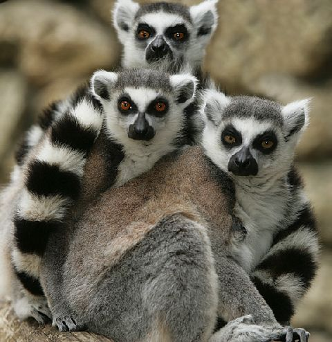 Lemurs And Thieves