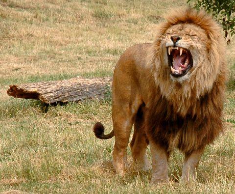 Lion Hunters Of The Laikipia Plateau